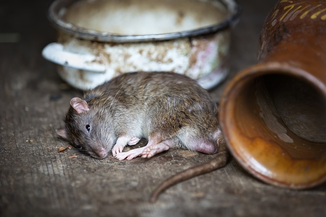 szczur2