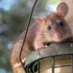 Zwalczanie szczurów/myszy